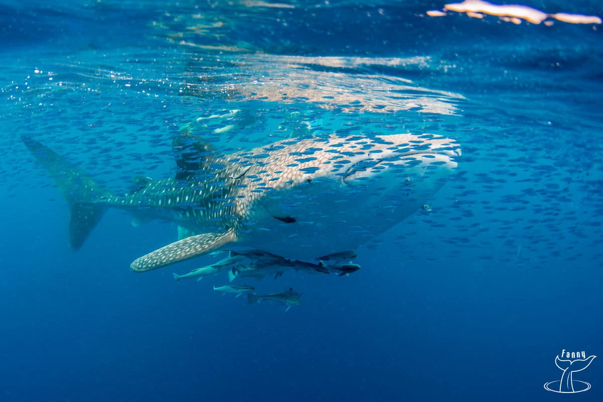 whale sharks in nosy iranja