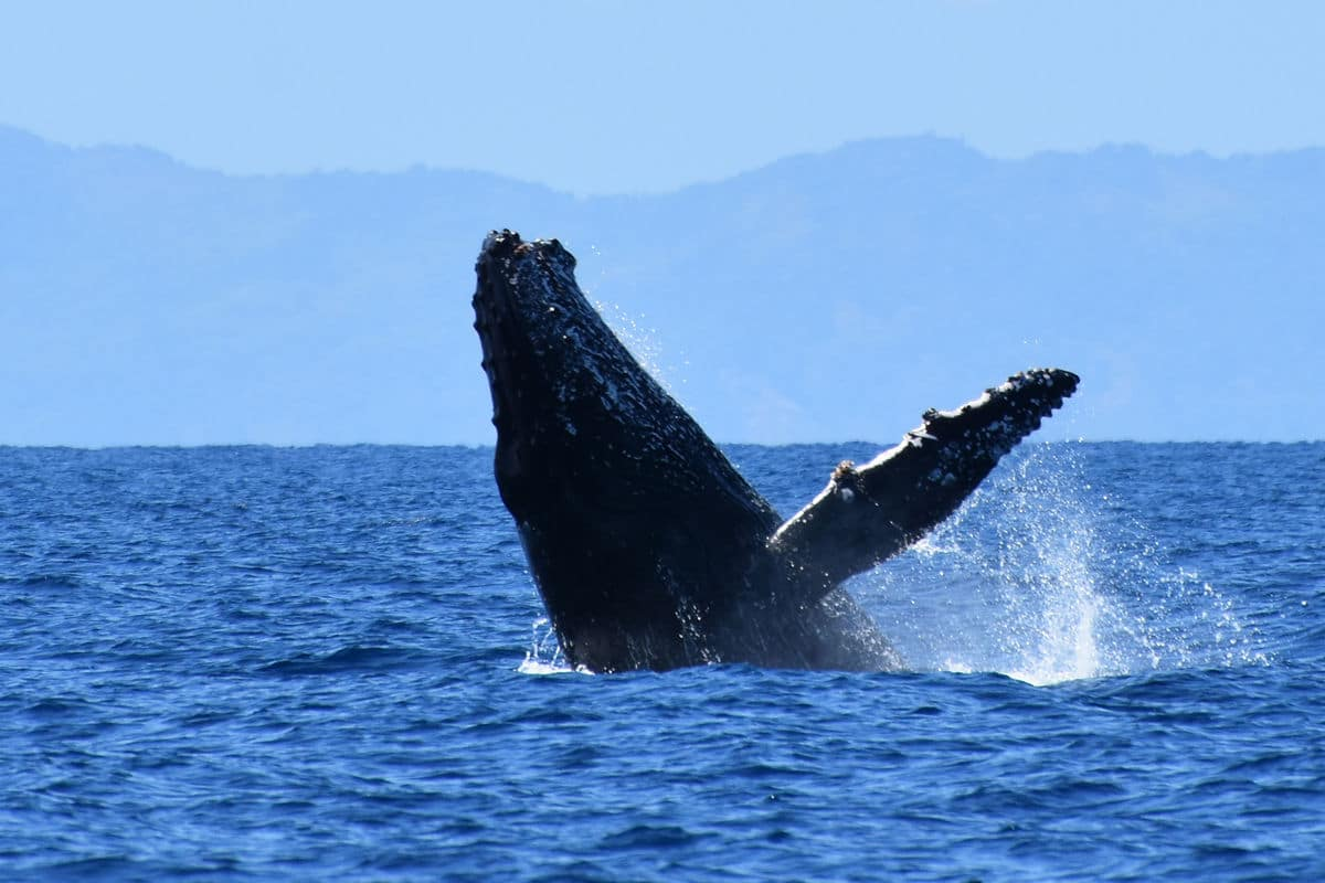 humpback whale in nosybe