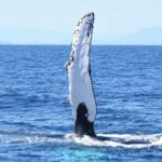 whale safari at nosy be - pectoral
