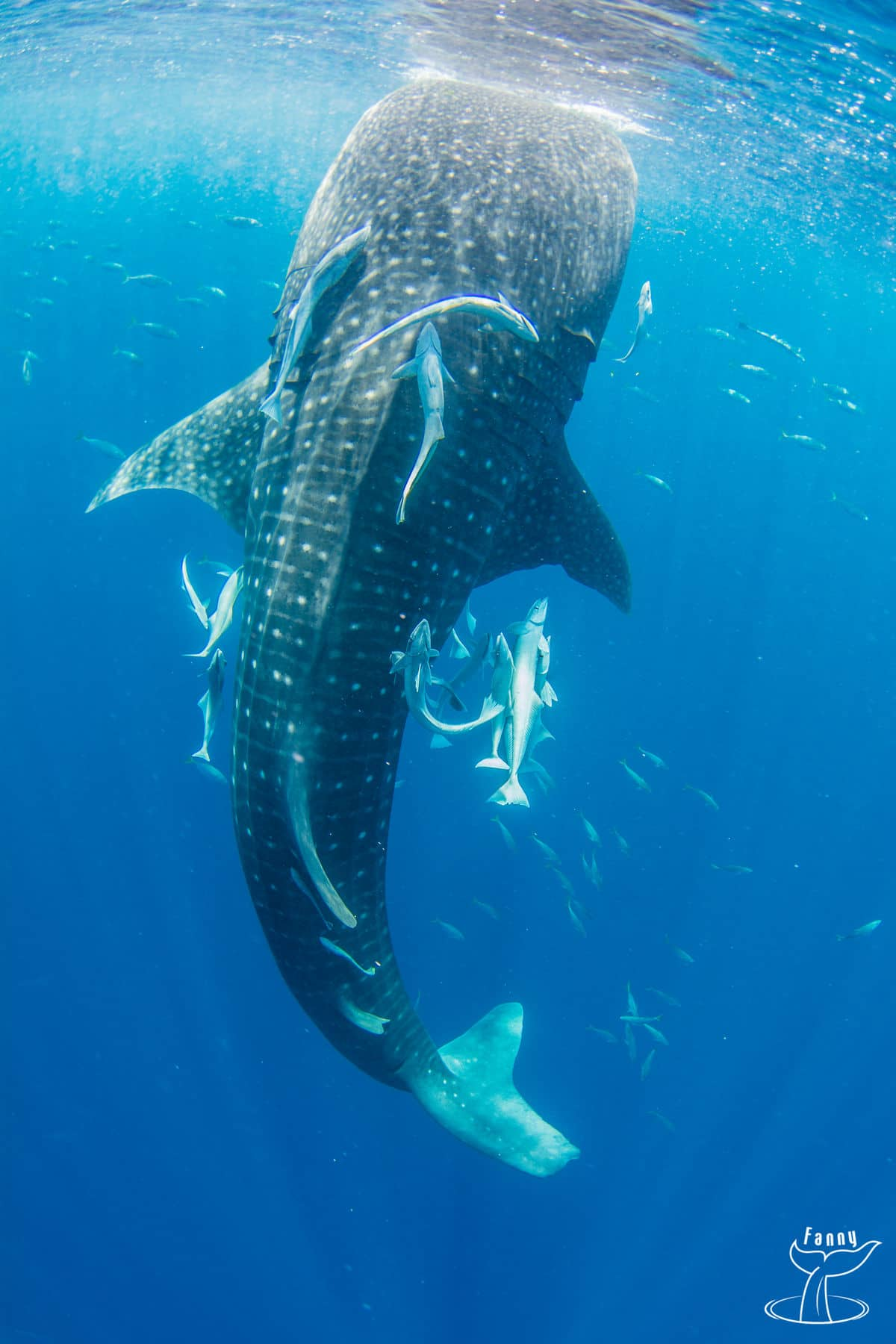 Whale shark safari in Nosy Be